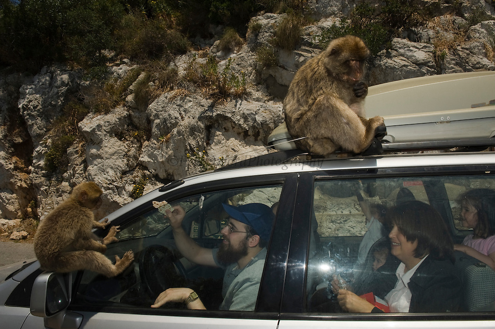 Barbary Macaque or Barbary Ape (Macaca sylvanus) being illegally fed by tourists.<br /> GIBRALTAR, UNITED KINGDOM<br /> Only monkey in Europe. True monkeys not apes and the only monkey without a tail. They are arboreal and terrestrial.<br /> IUCN: ENDANGERED SPECIES