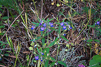"This beautiful small, and beautiful blue member of the figwort family is found in conifer forests from mid-to-low elevations in California, Utah, Oregon, Idaho, Washington and British Columbia. While its species name (Collinsia grandiflora) means ""large-flowered"", the tiny flowers of the giant blue-eyed Mary are still much larger than other members of the Collinsia genus. This one was found growing in thick mats scattered over the serpentine outcropping on the northwestern corner of Washington's Fidalgo Island."
