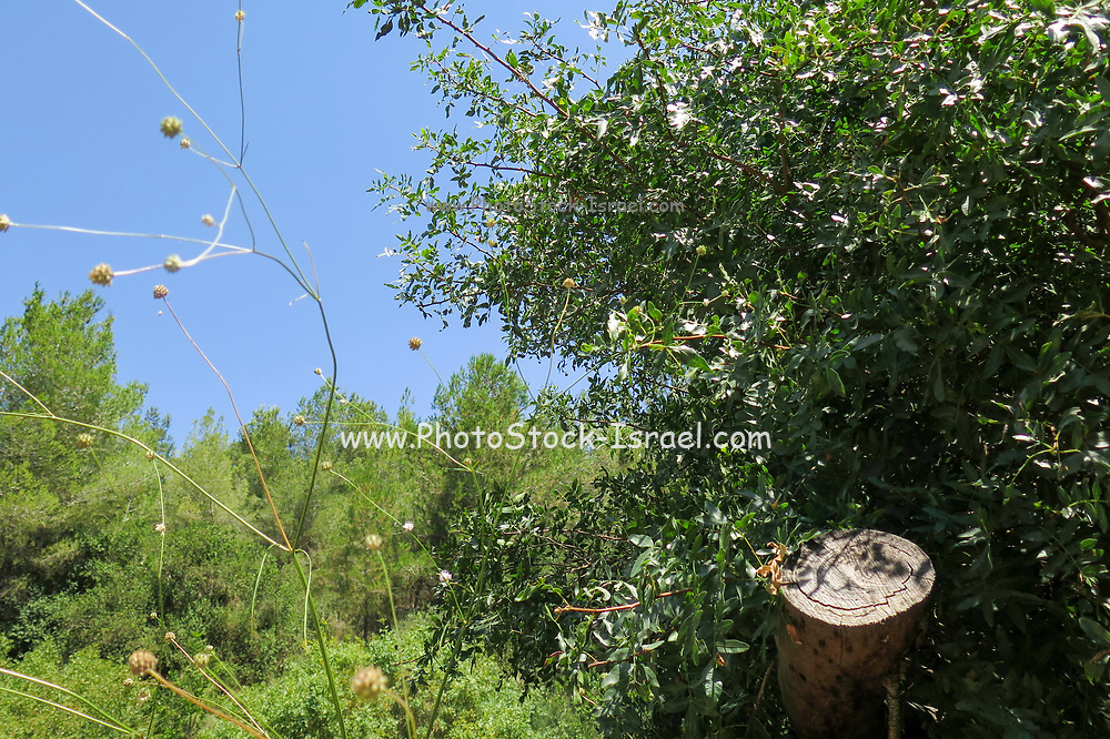 Mediterranean Forest. Photographed on the Carmel Mountain, Israel