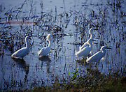 Snowy Egrets, Egretta thula, feeding, Salt Plains National Wildlife Refuge, Oklahoma.