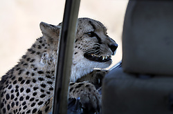 NAMIBIA WINDHOEK 4MAY14 - A cheetah glances into an open vehicle at the Duesternbrook guest farm near Windhoek, Namibia.<br /> <br /> Düsternbrook is the first and oldest guest farm in Namibia, located just north of Windhoek and offers Cheetah and Leopard game drives.<br /> <br /> <br /> <br /> jre/Photo by Jiri Rezac<br /> <br /> <br /> <br /> © Jiri Rezac 2014