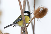Great Tit perches on teasel plant by a snowy slope, The Cotswolds, UK