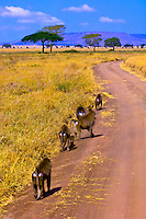 A troop of baboons, Serengeti National Park, Tanzania