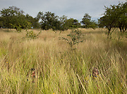 Two kids playing hide ans seek in the high grass. At the Hadza camp of Senkele.