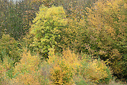 Mixed Autum Coloured Trees, Ranscombe Farm Nature Reserve, Kent UK, Field Maple, Beech, yellow, green