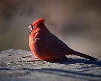 Northern Red Cardinal (male). Image taken with a Nikon D5 camera and 600 mm f/4 VR lens (ISO 220, 600 mm, f/4, 1/1250 sec).