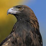 Golden Eagle (Aquila chrysaetos) portrait. Captive Animal