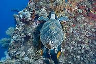 Hawksbill sea turtle-Tortue imbriquée (Eretmochelys imbricata), Balis island, indonesia.
