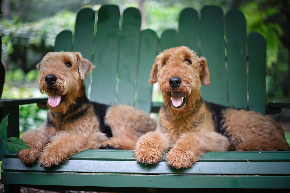 Airedales