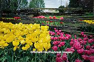 67221-00202 Pink & Yellow Tulips along fence at Roozengaarde, Washington Bulb Co., Skagit Valley  WA