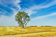 Cottonwood and canola<br /> Dugald<br /> Manitoba<br /> Canada