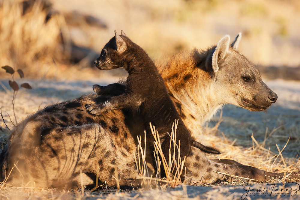 A small hyena cub (Crocuta crocuta) crawling over the back of its mother while she rests ,Khwai River, Botswana, Africa