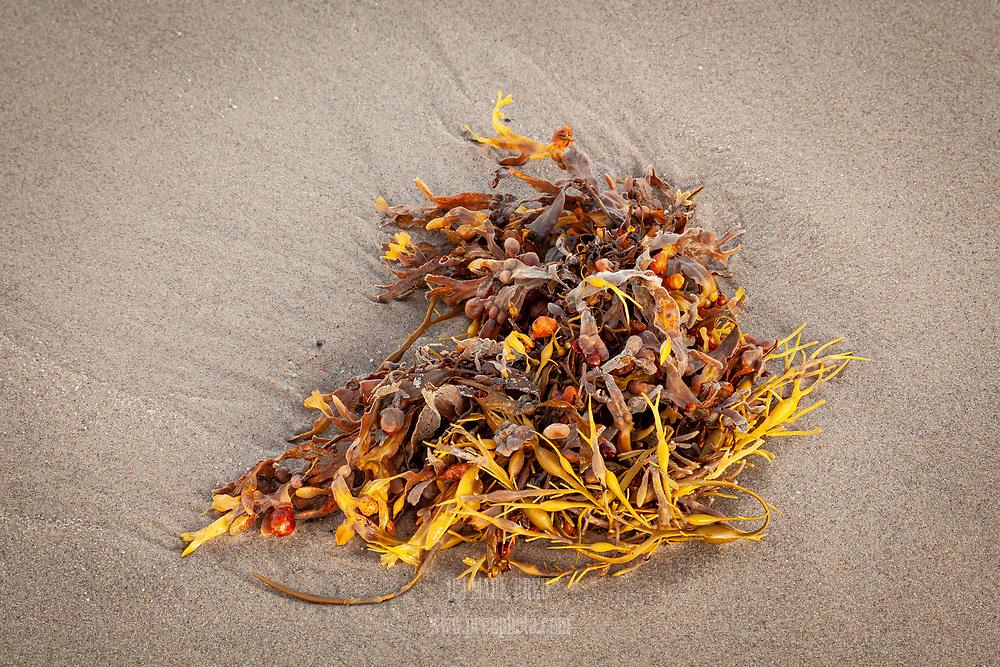 Rockweed washed up on Nauset Beach