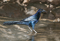 Male great-tailed grackle, Quiscalus mexicanus, on the bank of the Tarcoles River, Costa Rica
