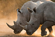 Two white rhinoceroses, Ceratotherium simum, walking in a cloud of dust at sunset.