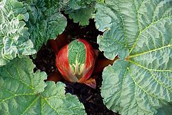 Emerging Rhubarb 'Victoria'