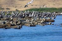 Harbor seals and Brown Pelicans rest alongshore Elkhorn Slough - Moss Landing, California.