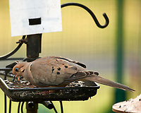 Mourning Dove. Image taken with a Nikon D5 camera and 200-500 mm f/5.6 VR lens.