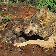 Gray Wolf (Canis lupus) pup greeting an adult at a den during the spring in Montana. Captive Animal