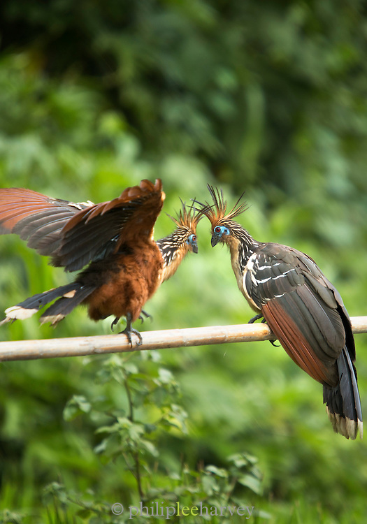 Hoatzin Birds (Opisthocomus hoazin), also know as the Stinkbird. Spotted Manu National Park, Peru, South America