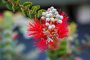 Ohia, Lehua, Flower, Hawaii