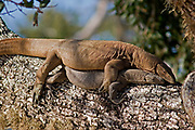 Male and female land monitor mating on a tree branch, Yala National Park, Sri Lanka
