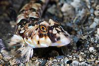 Dragonet, Callionymus lyra.Moere coastline, Norway
