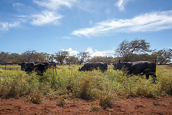 Cattle Near Maunaloa