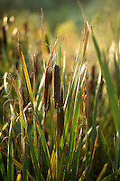 TEXEL- Cocksdorp-TEXELSE GOLF. Sigaren met riet. waterplanten, planten, natuur,COPYRIGHT KOEN SUYK