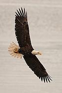 Bald Eagle (Haliaeetus leucocephalus) (Halietus leucocephalus) immature eagle (probably 2-3 years old flying over the Hood Canal in Puget Sound, Washington state, USA