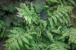 Athyrium otophorum var. okanum AGM (Eared lady fern) with Heuchera 'Bronze Beauty'