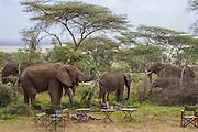Elephants in camp, Serengeti National Park, Tanzania