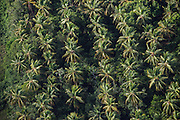 Coconut Palms (Cocos nucifera)<br /> Georgetown area<br /> GUYANA<br /> South America