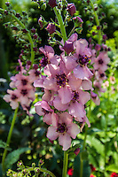 Hollyhock or Alcea rosea will grow in many kinds of soil, and can easily reach a height of about 2 meters. The plant colors are frequently pink, yellow, orange and dark red. It has been found to be useful in herbal medicine as a laxative, and to help control inflammation.