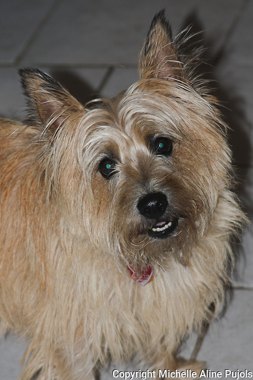 Carin Terrier close up.