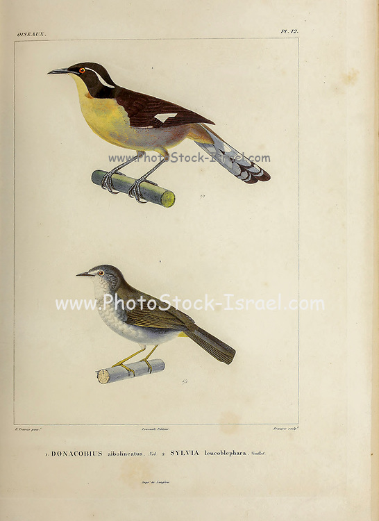 hand coloured sketch top: Black-capped Donacobius (Donacobius atricapilla albovittatus [Here as Donacobius albolineatus]) Bottom: white-rimmed warbler or white-browed warbler (Myiothlypis leucoblephara [Here as Sylvia leucoblephara]) From the book 'Voyage dans l'Amérique Méridionale' [Journey to South America: (Brazil, the eastern republic of Uruguay, the Argentine Republic, Patagonia, the republic of Chile, the republic of Bolivia, the republic of Peru), executed during the years 1826 - 1833] 4th volume Part 3 By: Orbigny, Alcide Dessalines d', d'Orbigny, 1802-1857; Montagne, Jean François Camille, 1784-1866; Martius, Karl Friedrich Philipp von, 1794-1868 Published Paris :Chez Pitois-Levrault et c.e ... ;1835-1847