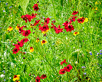 Red Coreopsis. Image taken with a Fuji X-T2 camera and 100-400 mm OIS lens