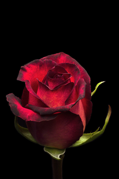 Dark rose black background Vertical/portrait