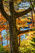 A mighty oak tree in Autumn in Maine, near the water, on a blue sky day.