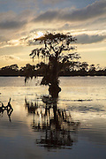 Single cypress tree at sunset