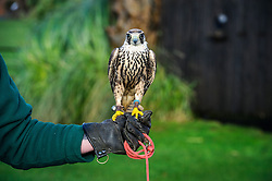 © Licensed to simonjacobs.com. 07/01/2014 Whipsnade, UK.  Lenny the African Lanner Falcon is held by a keeper during the annual stocktake at Whipsnade Zoo.<br /> Home to more than 2,500 animals zookeepers take stock of every invertebrate, bird, fish, mammal, reptile, and amphibian.<br /> The compulsory count is required as part of the zoo's license, the results are logged and the data is shared with zoos around the world to manage international breeding programmes. Photo credit : Simon Jacobs