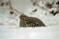 Gray Partridge (Perdix perdix) in snow, Calgary Alberta, Canada   Photo: Peter Llewellyn