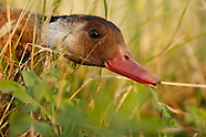 Argentina ducks & doves