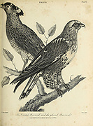 Crested Buzzard, Gloved Buzzard Copperplate engraving From the Encyclopaedia Londinensis or, Universal dictionary of arts, sciences, and literature; Volume VII;  Edited by Wilkes, John. Published in London in 1810
