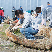 Scientists, students and volunteers engaged in cleaning the bones of an 18-meter long female fin whale (Balaenoptera physalus) that was found floating in Tokyo harbor in early 2012 and buried for about 16 months to facilitate decomposition. Even with the passage of so much time, there was still significant soft tissue and a power odor. Pictured here are the lower jaw bones.