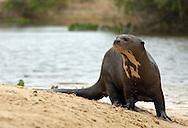 Giant otter (Pteronura brasiliensis), Pantanal, Brazil.