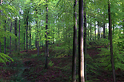 """Trees wet from the rain in the Sonian Forest, Foret de Soignes, or Zoniënwoud, an 11,000 hectare woodland to the southeast of Brussels, providing a """"green lung"""" for the polluted, traffic choked city. The forest is currently in three jurisdictions, Brussels, Flanders and Wallonia, but EU involvement in 2013 will see development of plans to re-unify the forest, for the benefit of humans and wildlife. This mage can be licensed via Millennium Images. Contact me for more details, or email mail@milim.com For prints, contact me, or click """"add to cart"""" to some standard print options."""