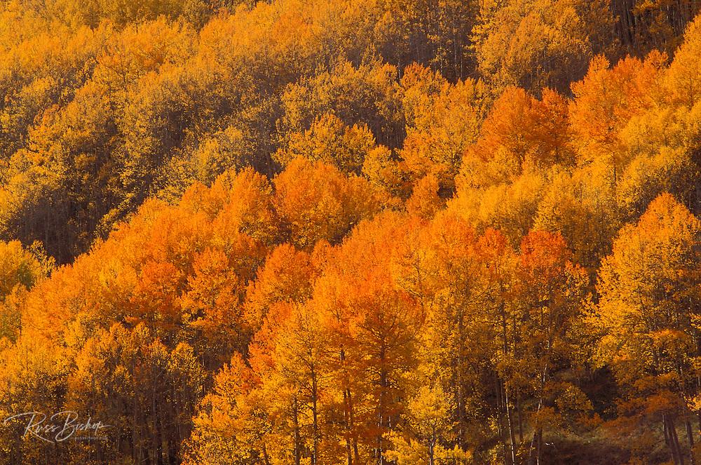Soft light on golden fall aspens in the San Juan Mountains, San Juan National Forest, Colorado