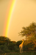 Giraffe (Giraffa camelopardalis) & rainbow<br /> Marataba, A section of the Marakele National Park<br /> Limpopo Province<br /> SOUTH AFRICA<br /> RANGE: Savanna regions in scattered isolated pockets of Sub-Saharan Africa.