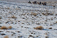 Kazakh herdsman, moving his gear on camelback in the traditional way, Kalamaili National Nature Reserve, Xinjiang, China